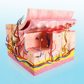 Human skin cut way diagram — Foto Stock