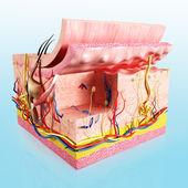 Human skin cut way diagram — Stock Photo