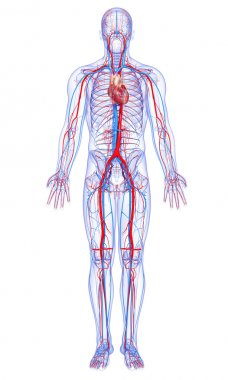 Full body circulatory system with highlighted heart