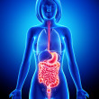 Stock Photo: Female digestive system