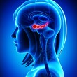 Anatomy of female brain hippocampus — Stock Photo