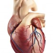 Different view of heart anatomy — Stock Photo #13955744