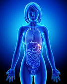 Female spleen and abdominal organs in blue x-ray — Stock Photo