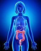 Female anatomy - digestive system — Stock Photo