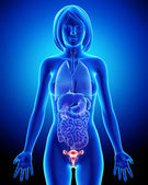 Female bladder anatomy in blue x-ray loop — Stock Photo
