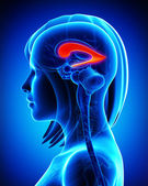 Anatomie mozku boční komory — Stock fotografie