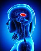 Anatomy of brain thalamus, L- cross section — Stock fotografie