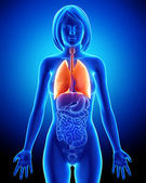 Female respiratory system with lungs — Stock Photo