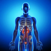 анатомия почки поперечное сечение — Стоковое фото