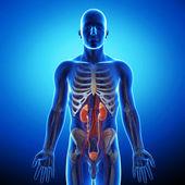 Anatomi av njure tvärsnitt — Stockfoto