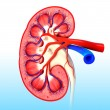 Human kidney cross section — Stock Photo