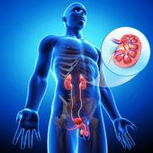 Nerkowe anatomia — Zdjęcie stockowe