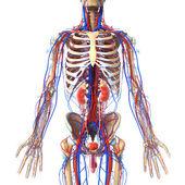 Anatomie ledvin průřez — Stock fotografie