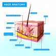 Illustration of hair anatomy with names — Stock Photo #22674765
