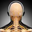 Back view of human skeleton nervous system isolated — Stock Photo #22675993