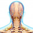 Stock Photo: Back view of circulatory and nervous system of back view of head
