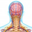 Stock Photo: Back view of circulatory and nervous system of back view of brain