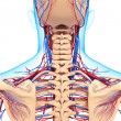 Circulatory system of back view of back isolated - Foto Stock