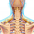Circulatory and nervous system of back view of back isolated - Stock Photo