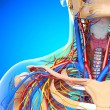 Stock Photo: Front half view of throat circulatory system isolated