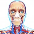 Stock Photo: Nervous head with, eyes, throat, teeth and circulatory system isolated