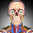 Nervous head circulatory system isolated - ストック写真