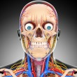 Nervous head circulatory system isolated - Stockfoto
