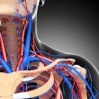 Stock Photo: Front half view of throat circulatory system isolated with gray