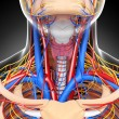Front view of throat circulatory system isolated — Stock Photo