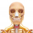 Human skeleton and nervous system of head with eyes, teeth — Stock Photo