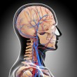 Stock Photo: Side view of circulatory system of head with, eyes, throat, teeth isolated in gray