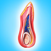 Male scrotal layers — Stock Photo
