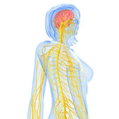3d art illustration of Nervous system — Stock Photo