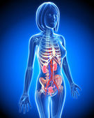 Female Urinary system in blue x-ray form in blue — Stock Photo