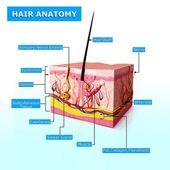 Ilustrace vlasy anatomie s názvy — Stock fotografie