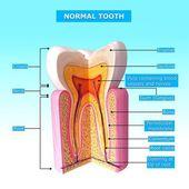 Anatomía del diente con nombres — Foto de Stock