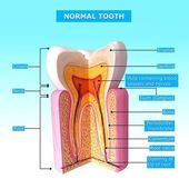 Tooth anatomy with names — Foto de Stock