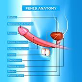 Illustration of male reproductive system with names — Stock Photo