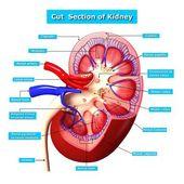 Anatomie du rein coupe dans la section — Photo