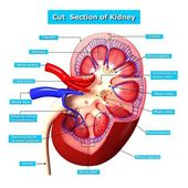 Anatomy of kidney cut section — Stock Photo