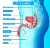 Male reproductive system with names — Stock Photo