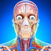 Nervoso sistema circulatório cabeça, isolado no branco — Foto Stock
