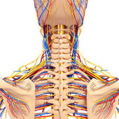 Circulatory system of back view of back isolated in white — Stock Photo