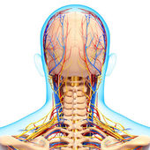 Back view of circulatory and nervous system of back view of head — Стоковое фото