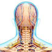 Вид сзади вид сзади головы кровообращения и нервной системы — Стоковое фото