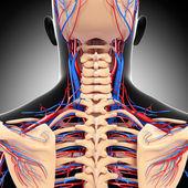 Sistema circulatório da vista traseira de volta isolado — Foto Stock
