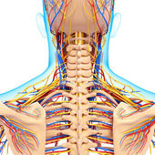 Circulatory and nervous system of back view of back isolated — Stock Photo