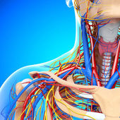 Front half view of throat circulatory system isolated — Foto Stock