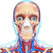 Nervous head with, eyes, throat, teeth and circulatory system isolated — Foto Stock