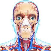 Nervoso com cabeça, olhos, garganta, dentes e sistema circulatório isolado — Foto Stock